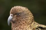 3147;alpine;alpine-parrot;alpine-parrots;Animal;Animals;beak;beaks;bill;bird;birds;cheeky;Closeup;close_up;crw;fauna;feather;feathers;fiordland;Fiordland-N.P;Fiordland-National-Park;Fiordland-NP;indigenous;island;kea;keas;milford;N.Z.;national;national-park;National-parks;native;native-wildlife;natives;natural;nature;nestor;nestor-notabilis;new;new-zealand;New-Zealand-Alpine-Parrot;New-Zealand-NZ;notabilis;NZ;ornithology;park;parrot;parrots;road;S.I.;SI;south;South-Is;South-Is.;South-Island;south-west-new-zealand-world-her;Southland;te-wahipounamu;te-wahipounamu-south_west-new;Wild;Wildlife;World-Heritage-Area;World-Heritage-Site;zealand