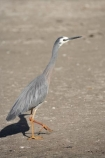 Ardea-novaehollandiae;bird;bird-watching;bird_watching;birds;Coromandel;Coromandel-Peninsula;eco-tourism;eco_tourism;ecotourism;Flaxmill-Bay;heron;herons;Maramaratotara-Bay;marine;N.I.;N.Z.;native;natural-history;nature;new-zealand;NI;North-Is;North-Is.;North-Island;NZ;Waikato;White-faced-Heron;White-faced-Herons;White_faced-Heron;White_faced-Herons;wildlife;wings
