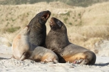 animal;animals;beach;beaches;bull;bulls;coast;coastal;coastline;Dunedin;Hookers-Sea-Lion;Hookers-Sea-Lions;Hookers-Sea-Lion;Hookers-Sea-Lions;male;mammal;mammals;marine-mammal;marine-mammals;N.Z.;New-Zealand;New-Zealand-Sea-Lion;New-Zealand-Sea-Lions;NZ;Otago;Otago-Peninsula;Phocarctos-hookeri;S.I.;sand;Sandfly-Bay;sandy;sea-lion;sea-lions;shore;shoreline;SI;South-Is.;South-Island;wildlife