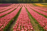 Agassiz;B.C.;BC;bloom;blooming;blooms;British-Columbia;Canada;Canadian;color;colorful;colors;colour;colourful;colours;country;countryside;cultivation;farm;farming;farmland;farms;field;fields;flora;floral;flower;flower-farm;flower-farming;flower-farms;flowers;Fraser-Valley;fresh;garden;grow;growing;growth;horticulture;la-Colombie_Britannique;North-America;paddock;paddocks;pink;renew;rural;Seabird-Island;season;seasonal;seasons;spring;springtime;tulip;tulip-bulb-growing;tulip-farm;tulip-farming;tulip-farms;tulip-field;Tulip-Fields;Tulipa-sp.;tulips;Tulips-of-the-Valley