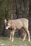 AB;Alberta;Albertas-Rockies;animal;animals;babies;baby;blacktail;Canada;Canadian;Canadian-Cordillera;Canadian-Rockies;Canadian-Rocky-Mountain-Parks;Canadian-Rocky-Mountain-Parks-World-Heritage-Site;deer;fawn;fawns;Jasper-N.P.;Jasper-National-Park;Jasper-NP;mammal;mammals;mule-deer;North-America;North-American-Cordillera;North-American-Rocky-Mountains-Range;Odocoileus-hemionus;Rocky-Mountains;Rocky-Mountains-Range;Western-Canada;Western-Cordillera;wildlife