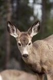 AB;Alberta;Albertas-Rockies;animal;animals;blacktail;Canada;Canadian;Canadian-Cordillera;Canadian-Rockies;Canadian-Rocky-Mountain-Parks;Canadian-Rocky-Mountain-Parks-World-Heritage-Site;deer;Jasper-N.P.;Jasper-National-Park;Jasper-NP;mammal;mammals;mule-deer;North-America;North-American-Cordillera;North-American-Rocky-Mountains-Range;Odocoileus-hemionus;Rocky-Mountains;Rocky-Mountains-Range;Western-Canada;Western-Cordillera;wildlife
