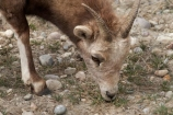 AB;Alberta;Albertas-Rockies;animal;animals;Big-horn-Sheep;big-horned-sheep;Big_horn-Sheep;big_horned-sheep;Bighorn-Sheep;bighorned-sheep;Canada;Canadian;Canadian-Cordillera;Canadian-Rockies;Canadian-Rocky-Mountain-Parks;Canadian-Rocky-Mountain-Parks-World-Heritage-Site;Jasper-N.P.;Jasper-National-Park;Jasper-NP;mammal;mammals;North-America;North-American-Cordillera;North-American-Rocky-Mountains-Range;Ovis-canadensis;Rocky-Mountains;Rocky-Mountains-Range;sheep;UN-world-heritage-area;UN-world-heritage-site;UNESCO-World-Heritage-area;UNESCO-World-Heritage-Site;united-nations-world-heritage-area;united-nations-world-heritage-site;Western-Canada;Western-Cordillera;wildlife;world-heritage;world-heritage-area;world-heritage-areas;World-Heritage-Park;World-Heritage-site;World-Heritage-Sites