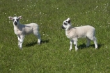 agricultural;agriculture;Animal;Animals;Britain;British-Isles;country;countryside;Craster;England;English;Europe;ewes;farm;Farm-animals;farming;farmland;farms;field;fields;G.B.;GB;Great-Britain;herbivore;herbivores;herbivorous;lamb;lambs;livestock;mammal;mammals;meadow;meadows;N.E.-England;NE-England;North-East-England;Northumberland;Outdoor;Outdoors;Outside;paddock;paddocks;pasture;pastures;rural;sheep;stock;U.K.;UK;United-Kingdom;white;wool;woolly;wooly