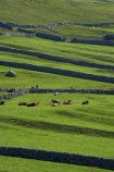 agricultural;agriculture;Britain;British-Isles;cattle;country;countryside;cow;cows;dry-stone-wall;dry-stone-walls;dry_stone-wall;dry_stone-walls;drystone-wall;drystone-walls;England;English-countryside;Europe;farm;farming;farmland;farms;fence;fence-line;fence-lines;fence_line;fence_lines;fenceline;fencelines;fences;field;fields;G.B.;GB;grass;Great-Britain;green;heritage;historic;livestock;Malham;meadow;meadows;North-Yorkshire;Northern-England;paddock;paddocks;pasture;pastures;rock-wall;rock-walls;rural;sheep;stock;stock-livestock;stone-fence;stone-fences;stone-wall;stone-walling;stone-wallings;stone-walls;tradition;traditional;U.K.;UK;United-Kingdom;Yorkshire;Yorkshire-countryside;Yorkshire-Dales;Yorkshire-Dales-National-Park;Yorkshire-Farm;Yorkshire-Farmland;Yorkshire-Farmlands;Yorkshire-Farms
