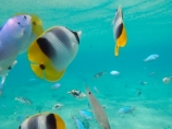 aqua;aquamarine;blue;butterflyfish;Chaetodon-ulietensis;Chaetodontidae;clean-water;clear-water;coast;coastal;coasts;cobalt-blue;cobalt-ultramarine;cobaltultramarine;coral-reef;coral-reefs;diving;Double-Saddle-Butterfly-fish;Double-Saddle-Butterflyfish;Doublesaddle-Butterfly-fish;Doublesaddle-Butterflyfish;False-Falcula-Butterfly-fish;False-Falcula-Butterflyfish;False-Furcula-Butterflyfish;Fij;Fiji;Fiji-Islands;fish;fishes;island;islands;Malolo-Lailai-Is;Malolo-Lailai-Island;Malololailai-Is;Malololailai-Island;Mamanuca-Group;Mamanuca-Is;Mamanuca-Island-Group;Mamanuca-Islands;Mamanucas;marine;marine-life;marinelife;ocean;oceanlife;Pacific;Pacific-Double_saddle-Butterflyfish;Pacific-Island;Pacific-Islands;Plantation-Is;Plantation-Is-Resort;Plantation-Island;Plantation-Island-Resort;reef;reefs;Saddled-Butterfly-fish;Saddled-Butterflyfish;sea;sealife;snorkelling;South-Pacific;teal-blue;tropical-fish;tropical-island;tropical-islands;tropical-reef;tropical-reefs;turquoise;under-water;under_water;undersea;underwater;underwater-photo;underwater-photography;underwater-photos;water