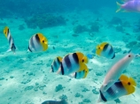 aqua;aquamarine;blue;butterflyfish;Chaetodon-ulietensis;Chaetodontidae;clean-water;clear-water;coast;coastal;coasts;cobalt-blue;cobalt-ultramarine;cobaltultramarine;coral-reef;coral-reefs;diving;Double-Saddle-Butterfly-fish;Double-Saddle-Butterflyfish;Doublesaddle-Butterfly-fish;Doublesaddle-Butterflyfish;False-Falcula-Butterfly-fish;False-Falcula-Butterflyfish;False-Furcula-Butterflyfish;Fij;Fiji;Fiji-Islands;fish;fishes;Halichoeres-trimaculatus;island;islands;Malolo-Lailai-Is;Malolo-Lailai-Island;Malololailai-Is;Malololailai-Island;Mamanuca-Group;Mamanuca-Is;Mamanuca-Island-Group;Mamanuca-Islands;Mamanucas;marine;marine-life;marinelife;ocean;oceanlife;Pacific;Pacific-Double_saddle-Butterflyfish;Pacific-Island;Pacific-Islands;Plantation-Is;Plantation-Is-Resort;Plantation-Island;Plantation-Island-Resort;reef;reefs;Saddled-Butterfly-fish;Saddled-Butterflyfish;sea;sealife;snorkelling;South-Pacific;teal-blue;Three-spot-wrasse;Threespot-wrasse;tropical-fish;tropical-island;tropical-islands;tropical-reef;tropical-reefs;turquoise;under-water;under_water;undersea;underwater;underwater-photo;underwater-photography;underwater-photos;water