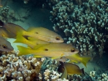 Black_spot-sea-perch;Black_spot-seaperch;Blackspot-snapper;coast;coastal;coasts;coral;coral-reef;coral-reefs;corals;diving;Dory-snapper;Fij;Fiji;Fiji-Islands;fish;island;islands;Kake;lutjanus-fulviflamma;Malolo-Lailai-Is;Malolo-Lailai-Island;Malololailai-Is;Malololailai-Island;Mamanuca-Group;Mamanuca-Is;Mamanuca-Island-Group;Mamanuca-Islands;Mamanucas;marine;marine-environment;marine-life;marinelife;ocean;oceanlife;Pacific;Pacific-Island;Pacific-Islands;Plantation-Is;Plantation-Is-Resort;Plantation-Island;Plantation-Island-Resort;reef;reefs;sea;sealife;snorkelling;South-Pacific;tropical-fish;tropical-island;tropical-islands;tropical-reef;tropical-reefs;under-water;under_water;undersea;underwater;underwater-photo;underwater-photography;underwater-photos;water