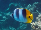 butterflyfish;Chaetodon-ulietensis;Chaetodontidae;coast;coastal;coasts;coral-reef;coral-reefs;corals;diving;Double-Saddle-Butterfly-fish;Double-Saddle-Butterflyfish;Doublesaddle-Butterfly-fish;Doublesaddle-Butterflyfish;False-Falcula-Butterfly-fish;False-Falcula-Butterflyfish;False-Furcula-Butterflyfish;Fij;Fiji;Fiji-Islands;fish;fishes;island;islands;Malolo-Lailai-Is;Malolo-Lailai-Island;Malololailai-Is;Malololailai-Island;Mamanuca-Group;Mamanuca-Is;Mamanuca-Island-Group;Mamanuca-Islands;Mamanucas;marine;marine-life;marinelife;ocean;oceanlife;Pacific;Pacific-Double_saddle-Butterflyfish;Pacific-Island;Pacific-Islands;Plantation-Is;Plantation-Is-Resort;Plantation-Island;Plantation-Island-Resort;reef;reefs;Saddled-Butterfly-fish;Saddled-Butterflyfish;sea;sealife;snorkelling;South-Pacific;tropical-fish;tropical-island;tropical-islands;tropical-reef;tropical-reefs;under-water;under_water;undersea;underwater;underwater-photo;underwater-photography;underwater-photos;water