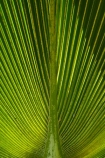 Fij;Fiji-Islands;frond;fronds;green;island;islands;Nadi;Pacific;palm-frond;palm-fronds;pattern;patterns;South-Pacific;Viti-levu