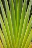 Coral-Coast;Fij;Fiji;Fiji-Islands;frond;fronds;green;Pacific;palm;palm-frond;palm-fronds;palm-tree;palm-trees;palms;pattern;patterns;South-Pacific;Viti-Levu