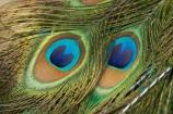 blue;Coral-Coast;feather;feathers;Fij;Fiji-Islands;green;Korotogo;Kula-Eco-Park;Kula-Ecopark;Pacific;peacock;peacock-feather;peacock-feathers;peacocks;Sigatoka;South-Pacific;tourist-attraction;tourist-attractions;turqoise;Viti-Levu;Viti-Levu-Island