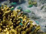 Blue_green-Chromis;Coral-Coast;coral-reef;coral-reefs;Damselfishe;Damselfishes;diving;Fij;Fiji-Islands;fish;Green-Chromis;Korotogo;marine;marine-environment;marine-life;marinelife;oceanlife;Outrigger-on-the-Lagoon;Pacific;Pacific-Ocean;reef;reefs;scuba-diving;sealife;Sigatoka;South-Pacific;tropical-fish;tropical-fishes;tropical-reef;tropical-reefs;under-water;under_water;undersea;underwater;underwater-photo;underwater-photography;underwater-photos;Viti-Levu;Viti-Levu-Island