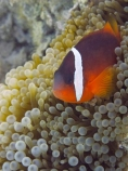 Amphiprion-frenatus;Amphiprion-melanopus;anemone;anemone-fish;Anemonefish;Anemonefishes;black-anemonefish;bridled-clownfish;bubble-anemone;bubble-tip-anemone;bubble_tip-anemone;bulb-anemone;Cinnamon-clownfish;Clownfish;Clownfishes;Coral-Coast;coral-reef;coral-reefs;diving;Entacmaea-quadricolor;Fij;Fiji-Islands;fire-clownfish;fish;Korotogo;marine;marine-environment;marine-life;marinelife;oceanlife;Outrigger-on-the-Lagoon;Pacific;Pacific-Ocean;red-and-black-anemonefish;red-clownfish;reef;reefs;scuba-diving;sealife;Sigatoka;South-Pacific;tomato-anemonefish;tomato-clownfish;tropical-fish;tropical-fishes;tropical-reef;tropical-reefs;under-water;under_water;undersea;underwater;underwater-photo;underwater-photography;underwater-photos;Viti-Levu;Viti-Levu-Island