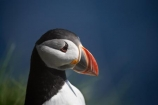 Alcidae;Alcinae;Animal;animals;Argyll-and-Bute;Atlantic-Puffin;Atlantic-Puffins;auk-family;Aves;avian;Beak;Bird;bird-watching;bird_watching;birds;Britain;Charadriiformes;Chordata;coastal;Common-Puffin;Common-Puffins;eco-tourism;eco_tourism;ecotourism;F.-arctica;Fauna;feather;feathers;Fratercula;Fratercula-arctica;Fraterculini;G.B.;GB;Great-Britain;Highlands;Inner-Hebrides;Island-of-Mull;Island-of-Staffa;Isle-of-Mull;Isle-of-Staffa;Lari;marine;Mull;Mull-Island;National-Nature-Reserve;Natural;natural-history;nature;Neoaves;Neognathae;Neornithes;Ornithology;pelagic-bird;pelagic-birds;puffin;puffins;Scotland;Scottish-Highlands;seabird-species;Stafa;Staffa;Staffa-Island;U.K.;UK;United-Kingdom;wild;wildlife