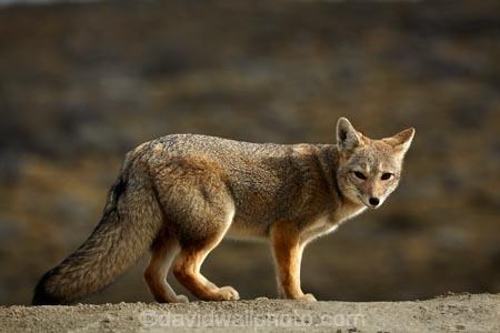 Argentina;Argentine-Patagonia;Argentine-Republic;Argentinian-gray-fox;Argentinian-gray-foxes;chilla;chillas;gray-zorro;gray-zorros;Latin-America;Lycalopex;Lycalopex-griseus;National-Route-40;Patagonia;Patagonian;Patagonian-fox;Patagonian-foxes;Route-40;Route-Forty;Ruta-40;Ruta-Nacional-40;Santa-Cruz-Province;South-America;South-American-gray-fox;South-American-gray-foxes;South-Argentina;Southern-Argentina;Sth-America