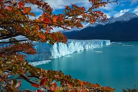 Argentina;Argentine-Patagonia;Argentine-Republic;Argentino-Lake;autuminal;autumn;autumn-colour;autumn-colours;autumnal;beech;beech-tree;beech-trees;beeches;Canal-de-los-Tempanos;cold;color;colors;colour;colours;deciduous;fall;Glaciar-Perito-Moreno;glacier;glacier-face;Glacier-National-Park;glacier-terminal-face;glacier-terminus;glaciers;gold;golden;ice;Iceberg-Channel;icefield;icefields;icy;Lago-Argentino;Latin-America;leaf;leaves;lenga;lenga-beech;lengas;Los-Glaciares;Los-Glaciares-N.P.;Los-Glaciares-National-Park;Los-Glaciares-NP;Magellanes-Peninsula;national-park;national-parks;Northofagus;Northofagus-pumilio;NP;orange;park;parks;Parque-Nacional-Los-Glaciares;Patagonia;Patagonian;Peninsula-Magellanes;Perito-Moreno;Perito-Moreno-Glacier;Santa-Cruz-Province;season;seasonal;seasons;South-America;South-Argentina;Southern-Argentina;southern-beech;southern-beeches;Sth-America;terminal-face;terminus;travel;tree;trees;UN-world-heritage-area;UN-world-heritage-site;UNESCO-World-Heritage-area;UNESCO-World-Heritage-Site;united-nations-world-heritage-area;united-nations-world-heritage-site;world-heritage;world-heritage-area;world-heritage-areas;World-Heritage-Park;World-Heritage-site;World-Heritage-Sites;yellow