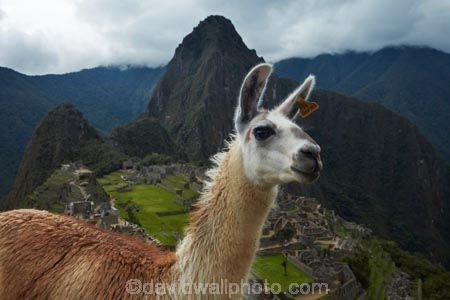 anamal;ancient;ancient-culture;archaeology;attraction;camelid;camelids;Camino-Inca;Camino-Inka;Cusco-Region;destination;domestic-stock;heritage;historic;history;Huayna-Picchu;Huayna-Picchu-Peak;Inca;Inca-Citadel;Inca-City;Inca-Ruins;Inca-site;Inca-Trail;Inka;Lama;Lama-Glama;lamoids;Latin-America;Llama;Llamas;lost-city;Machu-Picchu;Machu-Pichu;Machupicchu-District;Peru;Republic-of-Peru;ruin;ruins;Sacred-Valley;Sacred-Valley-of-the-Incas;South-America;Sth-America;stock;tourism;tourist-attraction;tourist-site;tourist-sites;travel;UN-world-heritage-area;UN-world-heritage-site;UNESCO-World-Heritage-area;UNESCO-World-Heritage-Site;united-nations-world-heritage-area;united-nations-world-heritage-site;Urubamba-Province;Urubamba-Valley;world-heritage;world-heritage-area;world-heritage-areas;World-Heritage-Park;World-Heritage-site;World-Heritage-Sites