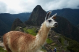 anamal;ancient;ancient-culture;archaeology;attraction;building;buildings;camelid;camelids;Camino-Inca;Camino-Inka;Cusco-Region;destination;domestic-stock;heritage;historic;historic-building;historic-buildings;historical;historical-building;historical-buildings;history;Huayna-Picchu;Huayna-Picchu-Peak;Inca;Inca-Citadel;Inca-City;Inca-Ruins;Inca-site;Inca-Trail;Inka;Lama;Lama-Glama;lamoids;Latin-America;Llama;Llamas;lost-city;Machu-Picchu;Machu-Pichu;Machupicchu-District;old;Peru;Republic-of-Peru;ruin;ruins;Sacred-Valley;Sacred-Valley-of-the-Incas;South-America;Sth-America;stock;tourism;tourist-attraction;tourist-site;tourist-sites;tradition;traditional;travel;UN-world-heritage-area;UN-world-heritage-site;UNESCO-World-Heritage-area;UNESCO-World-Heritage-Site;united-nations-world-heritage-area;united-nations-world-heritage-site;Urubamba-Province;Urubamba-Valley;world-heritage;world-heritage-area;world-heritage-areas;World-Heritage-Park;World-Heritage-site;World-Heritage-Sites