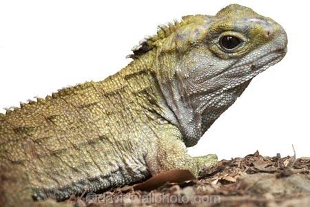 animal;cold-blooded;dragon;lizard;New-Zealand;reptile;Sphenodon-punctatus;tuatara;wildlife;cutout;cut;out