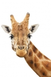 African;Baringo;Giraffe;Giraffa-camelopardalis-rothschildsi;Giraffidae;head;long;neck;Northern;Rothschild;Rothschilds;wildlife;cutout;cut;out