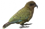 alpine;parrot;animal;bird;cheeky;indigenous;juvenile;Kea;native;nestor-notabilis;New-Zealand;parrot;wildlife;cutout;cut;out
