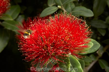 close-up;close_up;closeup;crimson;detail;Dunedin;flower;flowers;icon;icons;macro;metrosideros-excelsa;N.Z.;New-Zealand;NZ;Otago;plant;plants;pohutukawa;Pohutukawa-Flower;Pohutukawa-Flowers;pohutukawas;red;S.I.;SI;South-Is.;South-Island;symbol