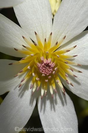 bloom;blooming;blooms;Clematis-paniculata;Dunedin;flower;flowers;fresh;grow;growth;N.Z.;Native-Clematis-Flower;New-Zealand;NZ;NZ-native-flower;NZ-native-flowers;NZ-native-plant;NZ-Native-plants;Otago;petal;petals;pistil;Ranunculaceae;renew;S.I.;season;seasonal;seasons;SI;South-Is;South-Is.;South-Island;spring;spring-time;spring_time;springtime;stamen;Sth-Is