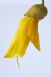 flower;flowers;icon;icons;Kowhai;Kowhai-Flower;native;nature;new-zealand;petal;petals;Sophora-sp.;stamen;symbol;symbols;tree;trees;yellow
