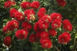 crimson;Dunedin;flower;flowers;icon;icons;metrosideros-excelsa;N.Z.;New-Zealand;NZ;Otago;plant;plants;pohutukawa;Pohutukawa-Flower;Pohutukawa-Flowers;pohutukawas;red;S.I.;SI;South-Is.;South-Island;symbol