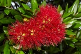Bay-of-Is;Bay-of-Islands;close-up;close_up;closeup;crimson;flower;flowers;Kororareka;metrosideros-excelsa;N.I.;N.Z.;native;native-plant;native-plants;New-Zealand;NI;North-Is;North-Is.;North-Island;Northland;NZ;plant;plants;pohutakawa;pohutakawas;pohutukawa;pohutukawa-flower;pohutukawa-flowers;pohutukawa-tree;pohutukawa-trees;pohutukawas;red;Russell;summer;tree;trees