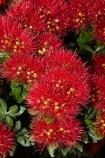 Bay-of-Is;Bay-of-Islands;close-up;close_up;closeup;crimson;flower;flowers;metrosideros-excelsa;N.I.;N.Z.;native;native-plant;native-plants;New-Zealand;NI;North-Is;North-Is.;North-Island;Northland;NZ;Paihia;plant;plants;pohutakawa;pohutakawas;pohutukawa;pohutukawa-flower;pohutukawa-flowers;pohutukawa-tree;pohutukawa-trees;pohutukawas;red;summer;tree;trees