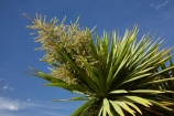 Cabbage-Tree;cabbage-trees;Central-Otago;Cordyline-australis;Far-North;Flower;N.Z.;native;New-Zealand;NZ;Otago;S.I.;SI;South-Is.;South-Island;trees