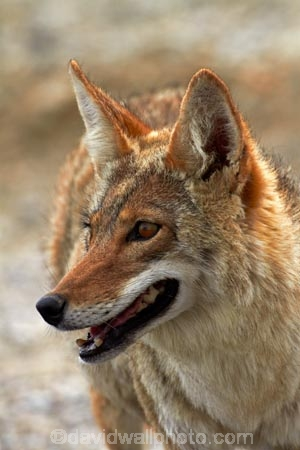 8355;america;american;American-jackal;American-jackals;badwater;Badwater-Basin;basin;brush-wolf;brush-wolves;CA;california;Canid;Canidae;Canids;canis;Canis-latrans;Carnivora;carnivore;carnivores;Close-up;Closeup;close_up;coyote;coyotes;death;Death-Valley;Death-Valley-N.P.;Death-Valley-National-Park;desert;Great-Basin;International-Biosphere-Reserve;latrans;Mammal;Mammals;mojave;Mojave-Desert;national;national-park;National-parks;omnivore;omnivores;park;Portrait;portraits;prairie-wolf;prairie-wolves;predator;predators;states;The-Great-Basin;U.S.A;United-States;United-States-of-America;usa;valley;west-coast;West-United-States;West-US;West-USA;Western-United-States;Western-US;Western-USA;wilderness-area;Wildlife