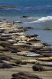 America;American;animal;animals;Big-Sur;CA;California;California-1;California-Central-Coast;California-State-Route-1;Central-Coast;coast;coastal;coastline;coastlines;coasts;crowd;crowded;crowds;elephant-seal;Elephant-seal-colony;elephant-seals;mammal;mammals;marine-mammal;marine-mammals;Mirounga-angustirostris;Northern-Elephant-Seal;ocean;oceans;Pacific;Pacific-Coast;Pacific-Coast-Highway;Pacific-Coast-Road;Pacific-Ocean;Piedras-Blancas;Piedras-Blancas-elephant-seal-rookery;Piedras-Blancas-rookery;Point-Piedras-Blancas;rookeries;rookery;San-Simeon;sea;seal;Seal-colony;Seal-rookery;seals;seas;shore;shoreline;shorelines;shores;States;The-Big-Sur;The-Central-Coast;U.S.A;United-States;United-States-of-America;USA;water;West-Coast;West-United-States;West-US;West-USA;Western-United-States;Western-US;Western-USA;wildlife