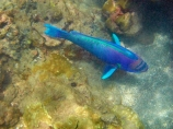 America;American;bright-blue;Chlorurus-perspicillatus;colorful;colourful;coral-reef;coral-reefs;corals;dive-site;dive-sites;diving;ecosystem;environment;fish;fishes;green;Hanauma;Hanauma-Bay;Hanauma-Bay-Nature-Preserve;Hanauma-Bay-Nature-Reserve;Hanauma-Bay-State-Park;Hanauma-Crater;Hawaii;Hawaiian-Islands;HI;Island-of-Oahu;marine;marine-environment;marine-life;marinelife;Oahu;Oahu;Oahu-Island;Ocean;oceanlife;Oceans;Pacific;Parrotfish;Parrotfished;reef;reefs;sea;sealife;seas;snorkeling;snorkelling;Spectacled-Parrotfish;Spectacled-Parrotfished;State-of-Hawaii;States;tropical-island;tropical-islands;tropical-reef;tropical-reefs;U.S.A;under-water;under_water;undersea;underwater;underwater-photo;underwater-photography;underwater-photos;United-States;United-States-of-America;USA