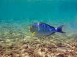 Acanthurus-xanthopterus;America;American;coral-reef;coral-reefs;corals;Cuviers-surgeonfish;dive-site;dive-sites;diving;ecosystem;environment;fish;fishes;Hanauma;Hanauma-Bay;Hanauma-Bay-Nature-Preserve;Hanauma-Bay-Nature-Reserve;Hanauma-Bay-State-Park;Hanauma-Crater;Hawaii;Hawaiian-Islands;HI;Island-of-Oahu;marine;marine-environment;marine-life;marinelife;Oahu;Oahu;Oahu-Island;Ocean;oceanlife;Oceans;Pacific;reef;reefs;sea;sealife;seas;snorkeling;snorkelling;State-of-Hawaii;States;tropical-island;tropical-islands;tropical-reef;tropical-reefs;U.S.A;under-water;under_water;undersea;underwater;underwater-photo;underwater-photography;underwater-photos;United-States;United-States-of-America;USA;Yellowfin-Surgeonfish