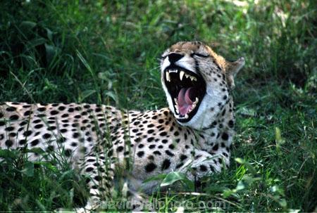 Acinonyx-jubatus;africa;african;animal;animals;cat;cats;cheetahs;feline;felines;mammal;mammals;nature;predator;predators;spotted;spots;spot;fur;southern-africa;fast;fastest;wildlife;wild;zoology;safari;safaris;game-viewing;threatened;endangered;yawn;yawning;teeth;canines;bite;hungry;hunger;lazy;laziness;roaring;sleepy;tired;sleepiness;mouth;mouths;yell;yelling;shout;shouts;shouting;yells