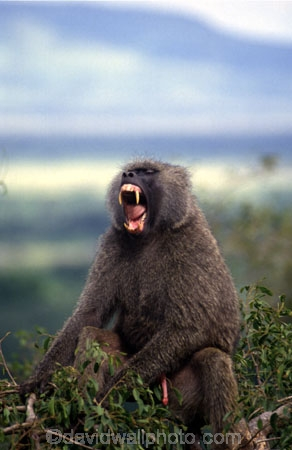 africa;african;animal;animals;east-africa;wildlife;wild;game-park;game-parks;safari;safaris;game-viewing;rift-valley;baboons;dominant;roar;yawn;yawning;teeth;canines;bite;hungry;hunger;lazy;laziness;roaring;sleepy;tired;sleepiness;mouth;mouths;yell;yelling;shout;shouts;shouting;yells;papio-anubis;agressive;danger;dangerous