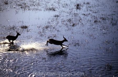jump;water;splash;africa;african;antelope;antelopes;animal;animals;wild;wildlife;game-park;game-parks;safari;safaris;game-viewing;mammal;mammals;nature;kobus-leche