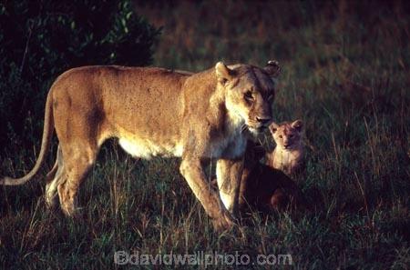 east-africa;africa;african;animal;animals;mammal;mammals;wild;wildlife;zoology;plain;plains;savannah;savanna;savanah;savana;grassland;grasslands;game-park;game-parks;cat;cats;feline;felines;predator;predators;carnivore;carnivores;lions;lion;Panthera-leo;pride-leader;dominant;safari;safaris;game-viewing;rift-valley;masai-mara-national-reserve;masai-mara;maasai;maasai-mara;kenya;kenyan;reserve;reserves;female;females;lioness;lionesses;mother-mothers;mom;mum;cub;cubs;protect