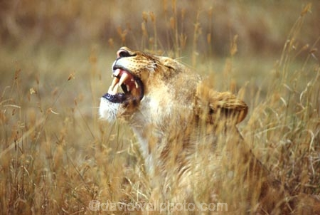 east-africa;africa;african;animal;animals;mammal;mammals;wild;wildlife;zoology;plain;plains;savannah;savanna;savanah;savana;grassland;grasslands;game-park;game-parks;cat;cats;feline;felines;predator;predators;carnivore;carnivores;lions;lion;Panthera-leo;pride-leader;dominant;roar;yawn;yawning;teeth;tooth;canines;bite;hungry;hunger;lazy;laziness;roaring;sleepy;tired;sleepiness;mouth;mouths;yell;yelling;shout;shouts;shouting;yells;safari;safaris;game-viewing;rift-valley;reserve;reserves;grass;camoufage;camouflaged;grimace;grimacing;ngorongoro-conservation-area;ngorongoro-crater;ngorongoro;crater;tanzania;tanzanian;lioness;lionesses;female;females