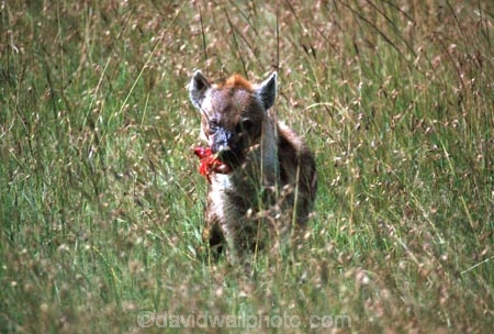 africa;african;animal;animals;mammal;mammals;nature;predator;predators;fur;east-africa;wildlife;wild;zoology;safari;safaris;game-viewing;game-park;game-parks;national-park;national-parks;carnivore;carnivores;omnivore;scavenger;scavengers;spotted-hyena;plain;crocuta-crocuta;erxleben;hyenas;tierwolf;plains;savannah;savanna;savanah;savana;grasslands;rift-valley;masai-mara-national-reserve;masai-mara;maasai-mara;masai;maasai;ugly;kill;eat;blood;hunt;hunter;hunters;hunts;hunting