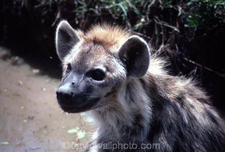 africa;african;animal;animals;mammal;mammals;nature;predator;predators;fur;east-africa;wildlife;wild;zoology;safari;safaris;game-viewing;game-park;game-parks;national-park;national-parks;carnivore;carnivores;omnivore;scavenger;scavengers;spotted-hyena;plain;crocuta-crocuta;erxleben;hyenas;tierwolf;plains;savannah;savanna;savanah;savana;grasslands;rift-valley;masai-mara-national-reserve;masai-mara;maasai-mara;masai;maasai;ugly;puddle;puddles;mud;muddy