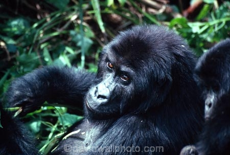 africa;african;animal;animals;wildlife;game-view;central-africa;great-lakes-region;jungle;Democratic-Republic-of-Congo;congo;zaire;rainforest;endangered;threatened-with-extinction;safari;safaris;game-viewing;mountain;gorillas;ape;apes;primate;primates;wild;gorilla;gorilla-beringei;threatened;endangered-with-extinction