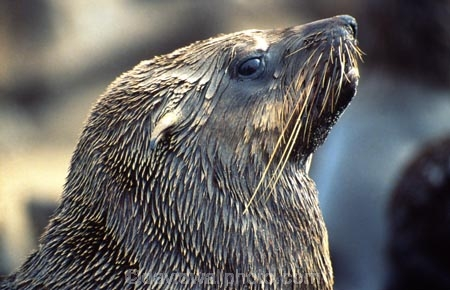 marine;mammal;mammals;wildlife;wild;natural-history;seal;seals;nature;cape-fur-seal;fur-seal;cape-cross;namibia;namibian;southern-africa;south-west-africa;africa;african;wet