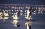safari;safaris;game-viewing;beak;bill;africa;african;east-africa;bird;birds;aquatic;wild;wildlife;pelican;reflection;reflections;fly;movement;take-off;take_off;flying;white-pelican;Pelicanus-onocrotalus;flamingi;pink;lesser-flamingo;Phoenicopterus-minor;great-rift-valley;shallow;wading;web;lakes