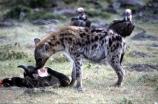 africa;african;animal;animals;mammal;mammals;nature;predator;predators;fur;east-africa;wildlife;wild;zoology;safari;safaris;game-viewing;carnivore;carnivores;omnivore;scavenger;scavengers;spotted-hyena;plain;crocuta-crocuta;erxleben;hyenas;tierwolf;-plain;plains;savannah;savanna;savanah;savana;grasslands;game-park;game-parks;safari;safaris;game-viewing;rift-valley;kill;hear;wildebeests;skull;eye-socket;eat;eats;vulture;vultures