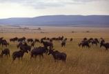 africa;african;antelope;antelopes;animal;animals;wild;wildlife;game-park;game-parks;safari;safaris;game-viewing;grass;grassland;grasslands;mammal;mammals;nature;savanna;savannah;savana;savanah;herd;herds;topis;rift-valley;Damaliscus-korrigum;tiang
