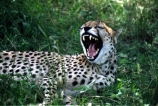 Acinonyx-jubatus;africa;african;animal;animals;cat;cats;cheetahs;feline;felines;mammal;mammals;nature;predator;predators;spotted;spots;spot;fur;southern-africa;fast;fastest;wildlife;wild;zoology;safari;safaris;game-viewing;threatened;endangered;yawn;yawning;teeth;canines;bite;hungry;hunger;lazy;laziness;roaring;sleepy;tired;sleepiness;mouth;mouths;yell;yelling;shout;shouts;shouting;yells
